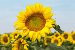 Large happy sunflower and sunflower oil crop on a sunny day in t Royalty Free Stock Images