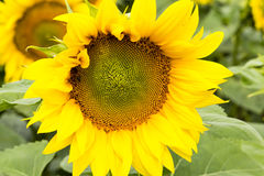 Large happy sunflower and sunflower oil crop on a sunny day in t Royalty Free Stock Photography