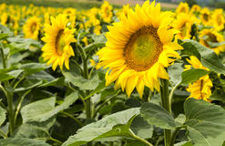 Large happy sunflower and sunflower oil crop on a sunny day in t Stock Images