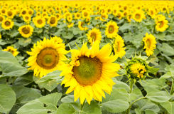 Large happy sunflower and sunflower oil crop on a sunny day in t Royalty Free Stock Photos