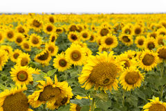 Large Happy Sunflower And Sunflower Oil Crop On A Sunny Day In T Royalty Free Stock Image