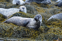 Large Harbor Seal Colony in Scotland Stock Image