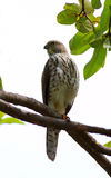 Large hawk-cuckoo. The Large Hawk-cuckoo (Cuculus sparverioides) is a species of cuckoo in the Cuculidae family. They call in summer and the calling goes on well royalty free stock photos