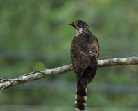 Large hawk-cuckoo (Hierococcyx sparverioides) the eagle hawk wit Royalty Free Stock Images