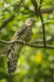 Large Hawk Cuckoo Royalty Free Stock Image