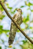 Large Hawk Cuckoo Stock Photo