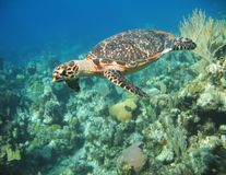Large Hawksbill Turtle Royalty Free Stock Image