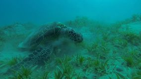 Large hawksbill turtle eating. At the bottom stock video footage