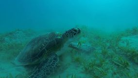 Large hawksbill turtle eating slow motion. Large hawksbill turtle eating at the bottom in slow motion stock video footage