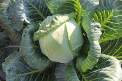 A large head of cabbage growing in the garden Stock Images