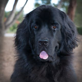 Large head shot of black newfoundland dog with tongue hanging out. Stock Images