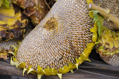 Drying sunflower heads Royalty Free Stock Images