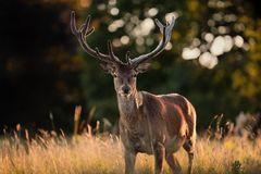 Portrait of Red Deer Stag with Velvet Antlers Stock Images