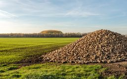 Large heap of harvested sugar beets waiting for transport to the royalty free stock photos