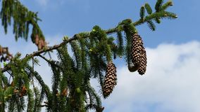 Large heavy cones on Spruce tree branch swinging in gentle wind, 4K resolution. Large elongated cones of coniferous evergreen Spruce tree, latin name Picea stock video footage