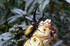Hercules beetle aka rhino beetle world`s largest extant beetle. stock images