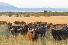 A large herd of African buffaloes in the Serengeti. Tanzania Stock Images