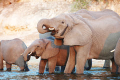 Large herd of African elephants Stock Images