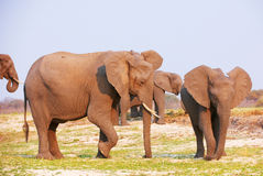 Large herd of African elephants Stock Photo