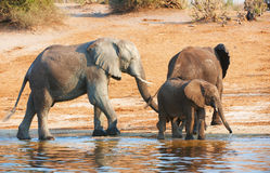 Large herd of African elephants Stock Image
