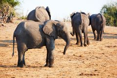 Large herd of African elephants Stock Photos