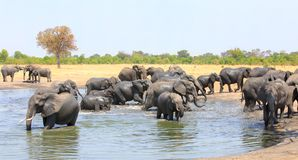 Lots of african elephants wading and cooling down in a waterhole, Hwange National Park, Zimbabwe royalty free stock photography