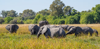Large herd of African elephants grazing in tall river grass with green trees in background, safari in Moremi NP Stock Photos