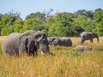 Large herd of African elephants grazing in tall river grass with green trees in background, safari in Moremi NP Royalty Free Stock Photo
