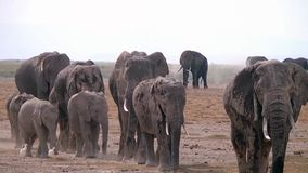 Large herd of African elephants walking on the savannah. Royalty Free Stock Photo