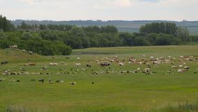 A large herd of animals, sheep, cows, horses, a bird on a green spring meadow. Overarching plan stock video footage