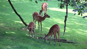 Large herd of Antelope Sitatunga Royalty Free Stock Photos