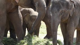 Large herd of Asian Elephants (Elephas maximus) stock video