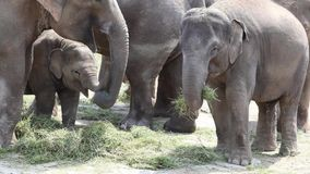 Large herd of Asian Elephants (Elephas maximus) Stock Image