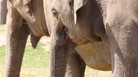 Large herd of Asian Elephants stock video footage