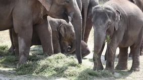 Large herd of Asian Elephants stock video