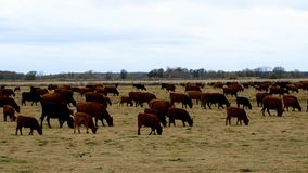 Large herd of beef cattle grazing in pasture. Cows, bulls, calves together in paddock. stock footage