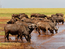 Large Herd of Buffalo drinking from Lake Kariba Royalty Free Stock Photos