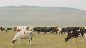 A large herd of cows grazing in summer day against backdrop of hills and forests. Herd slowly goes on pastures in search of food, in form of green. There are a stock footage