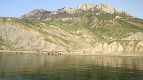 Large herd cows located on beach. Beautiful sunny summer day. large herd cows. Panorama aerial view from sea. majestic wooded mountains and rocky cliffs on shore stock video