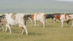 A large herd of dairy breeds of cows standing in a meadow. stock footage