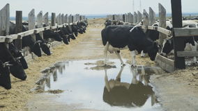 A large herd of dairy cows eat silage in a pen in open air. stock footage