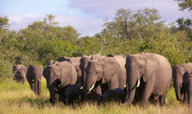 Large herd of elephants Stock Photos