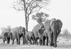 Large herd of elephants in black and white walking forwards in Hwange National Park stock photo