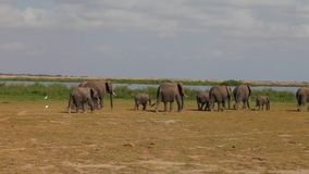 Large  herd of elephants comes to watering. Stock Photo
