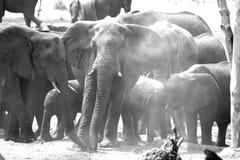 Large herd of elephants dusting themselves in Hwange National Park, Zimbabwe Royalty Free Stock Photo