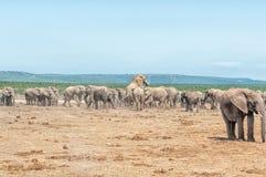 Large herd of elephants Stock Image