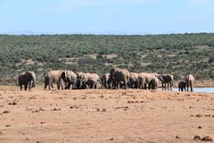 A large herd of elephants at a waterhole drinking water on a sunny day in Addo Elephant Park in Colchester, South Africa Stock Images
