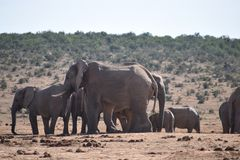 A herde of elephants at a waterhole drinking water on a sunny day in Addo Elephant Park in Colchester, South Africa Royalty Free Stock Photo