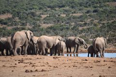 A herde of elephants at a waterhole drinking water on a sunny day in Addo Elephant Park in Colchester, South Africa Stock Photo