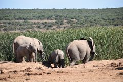 A herde of elephants at a waterhole drinking water on a sunny day in Addo Elephant Park in Colchester, South Africa Royalty Free Stock Photos